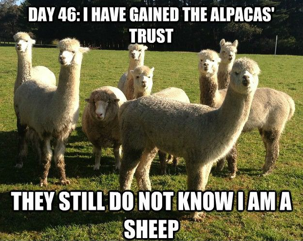 """Meme with a photo of alpacas and one sheep that reads: """"Day 46: I have gained the alpacas trust. They still do not know I am a sheep."""""""